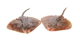 Fresh ray fish. Isolated on white background royalty free stock photography