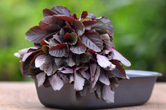 Fresh red amaranth Stock Photography