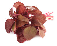 Fresh red amaranth or red spinach Stock Images