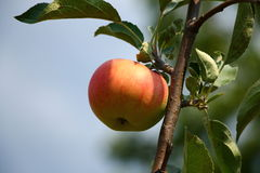 Fresh red apple on the branch Royalty Free Stock Images