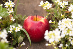 Fresh red apple in the grass. Fallen fresh red apple in the grass Royalty Free Stock Photo