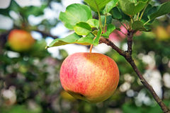 Fresh red apple hanging on branch Stock Image