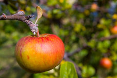 Fresh Red Apple on Tree Stock Image