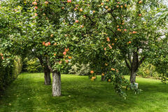 Fresh red apple on tree Royalty Free Stock Images