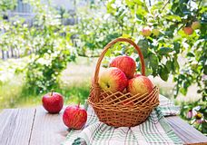 Fresh red apples in a basket on a table. In a summer garden royalty free stock image