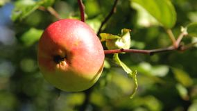 Fresh red apples on a branch in the garden stock footage