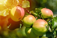 Fresh red apples on branch of tree grows on the sun. Rural and nature concept Royalty Free Stock Image