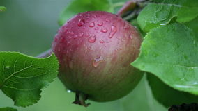 Fresh red apples on branches of an apple tree after summer rain. Close-up view of fresh red apples on branches of an apple tree in organic fruit orchard after stock video footage