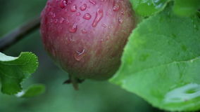 Fresh red apples on branches of an apple tree after summer rain. Close-up view of fresh red apples on branches of an apple tree in organic fruit orchard after stock footage