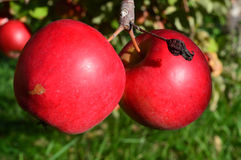 Fresh Red Apples NH