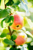 Fresh Red Apples On Apple Tree Branch Stock Images