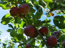 Fresh Red Apples in the Orchard Royalty Free Stock Photography