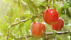 Fresh red apples, organic orchard in rain stock video footage