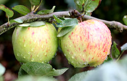 Fresh red apples on a tree Royalty Free Stock Image