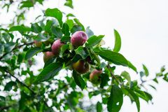 Fresh red apples on a tree in the garden stock photos