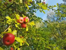 Fresh Red Apples on Tree. Fresh red apples hanging on trees with clear blue sky in background royalty free stock image