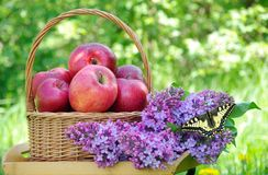 Fresh red apples in a wicker basket in the garden. Picnic on the grass. Ripe apples and spring flowers. Butterfly machaon on a flo stock images