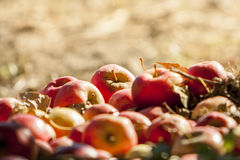 Fresh red apples Royalty Free Stock Photos