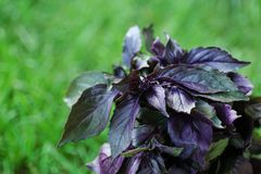 Fresh red basil on background. Fresh red basil on blurred background stock photo