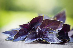 Fresh red basil, close up. Selective focus royalty free stock photo