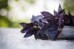 Fresh red basil, close up. Stock Photos