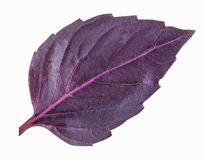 Fresh red basil herb leaves isolated on white background. Purple Dark Opal Basil stock images