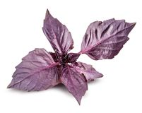Fresh red basil herb leaves isolated on white background. Purple Dark Opal Basil royalty free stock images