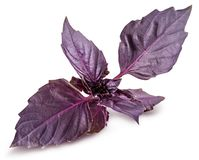 Fresh red basil herb leaves isolated on white background. Purple Dark Opal Basil stock photography