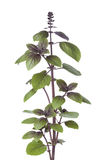 Fresh red basil plant Stock Images