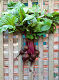 Fresh Red Beets Hanging on Fence Stock Photo