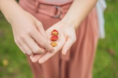 Fresh red berries coffee beans in woman hand.  Royalty Free Stock Images