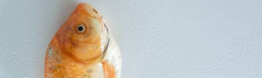 Fresh red  Carassius fish ready for cooking. Healthy eating concept, space for text. Or menu royalty free stock photography