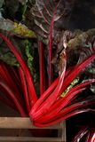 Fresh red chard. From a farmers market close up Royalty Free Stock Images