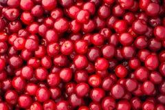 Fresh red cherries Stock Image