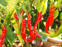 Fresh red chilies Stock Photo