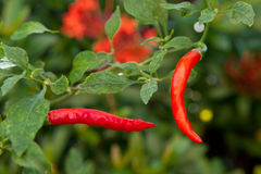 Fresh red chillies Royalty Free Stock Images
