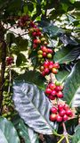 Fresh red coffee beans on tree in the garden of Thailand Royalty Free Stock Photos