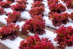 Fresh red coral lettuce Royalty Free Stock Images