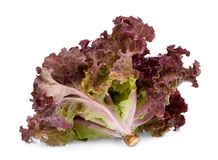 Fresh red coral salad or red lettuce isolated on the white royalty free stock image