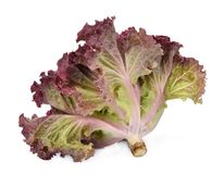 Fresh red coral salad or red lettuce isolated on the white royalty free stock photography