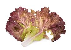 Fresh red coral salad or red lettuce isolated on the white royalty free stock images