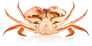 Fresh red crab Royalty Free Stock Photos