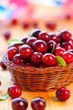 Fresh red cranberries. With leaves in basket Royalty Free Stock Photo