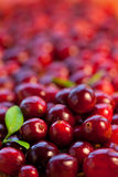 Fresh red cranberries Royalty Free Stock Photography