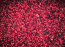 Fresh red cranberries. Indian garden farm Bridgewater Lunenburg County Nova Scotia Royalty Free Stock Photo