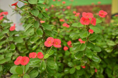 Fresh red crown of thorns flowers after rained Stock Image