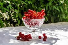 Fresh red currant in a crystal glass stand on a table with a white cloth on the background of blurred flowers. Fresh harvest of. This year. Concept of healthy stock images
