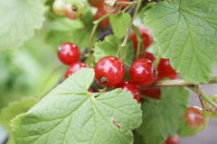 Fresh red currant, fresh berries Stock Photos