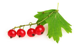 Fresh red currant and leaf isolated Royalty Free Stock Photos