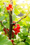Fresh red currant on a twig Royalty Free Stock Images